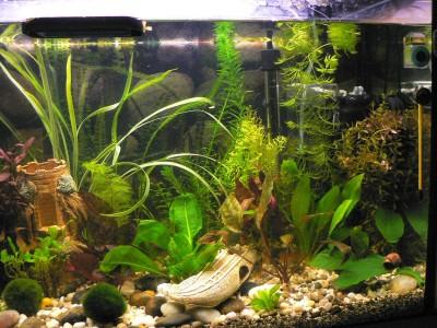 Наш аквариум 80 литров Михаил и ИринаС  - P1080108.JPG