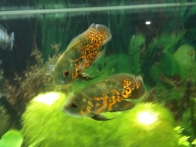 Мой аквариум 300 литров Grafova  - 2.jpg
