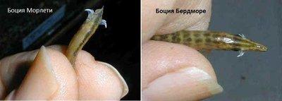 Боции в аквариуме - 2.jpg