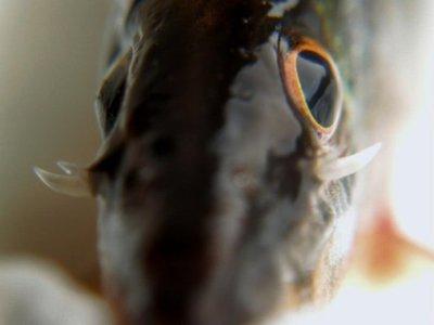 Боции в аквариуме - Syncrossus%20suborbital%20spines.jpg