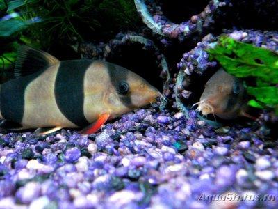 Боции в аквариуме - 2 (4).jpg