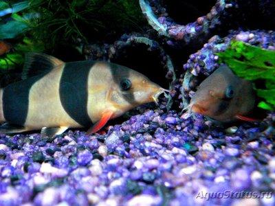 Боции в аквариуме - 4 (2).jpg