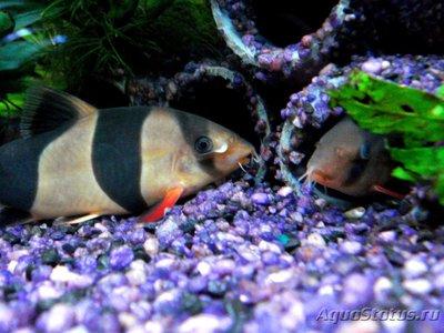 Боции в аквариуме - 3 (5).jpg