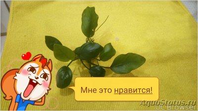 Опознание аквариумных растений - TMPDOODLE1517222156767.jpg
