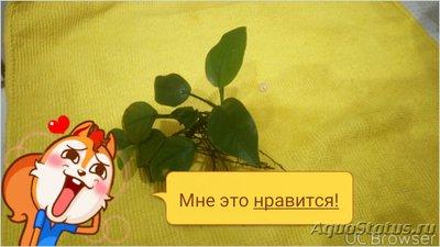 Аквариумные растения - опознание растений. - TMPDOODLE1517222164987.jpg