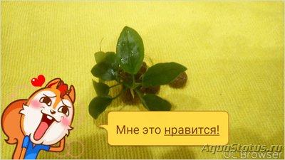 Аквариумные растения - опознание растений. - TMPDOODLE1517222181182.jpg