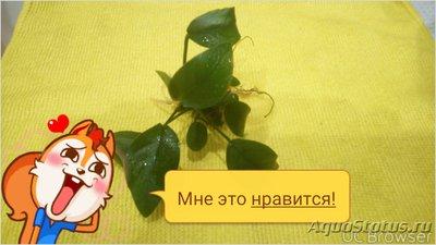 Опознание аквариумных растений - TMPDOODLE1517222188783.jpg