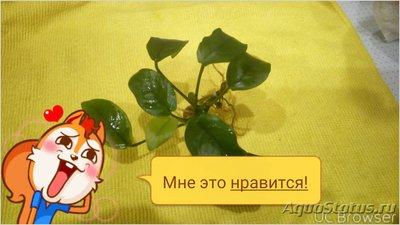 Аквариумные растения - опознание растений. - TMPDOODLE1517222200986.jpg