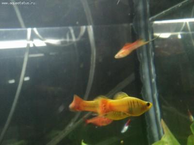 Помогите опознать рыбку опознание рыб  - DSC00517.JPG