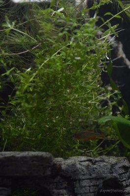 Опознание аквариумных растений - DSC_0231.JPG
