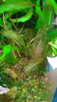 Аквариумные растения - опознание растений. - P_20180220_132909.jpg